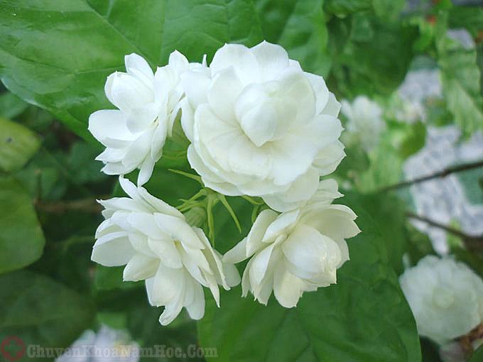 Tác dụng chữa bệnh yếu sinh lý của hoa nhài