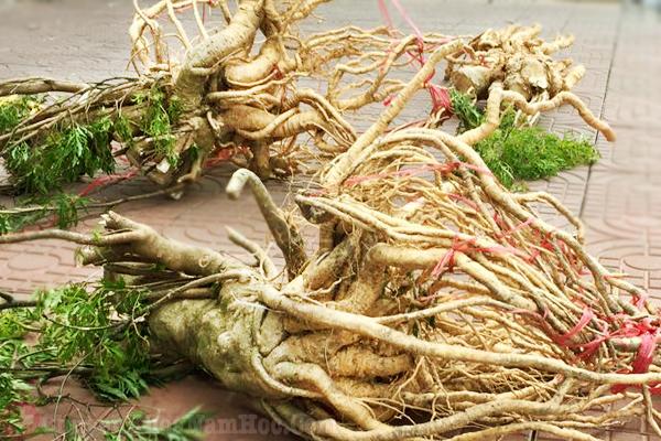 khắc phục xuất tinh sớm bằng rễ đinh lăng